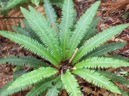 Ground fern.