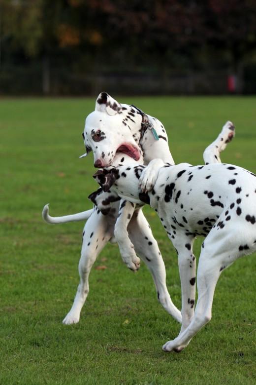 Dalmatians playing.