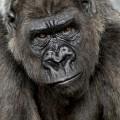 Gorillas - the Gentle Giants