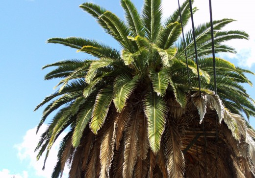 Upclose picture of a Washingtonia palm.