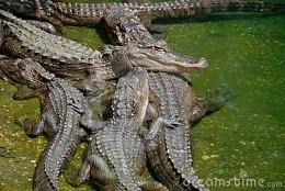 Group of alligators - Congregation
