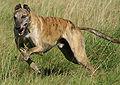 Greyhound running brindle
