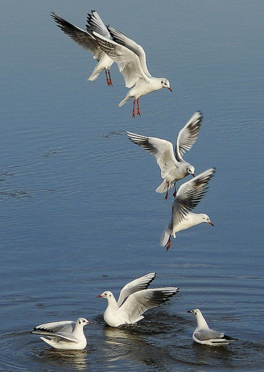 Seagull-dance