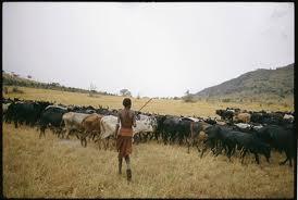 African Herd of Cattle