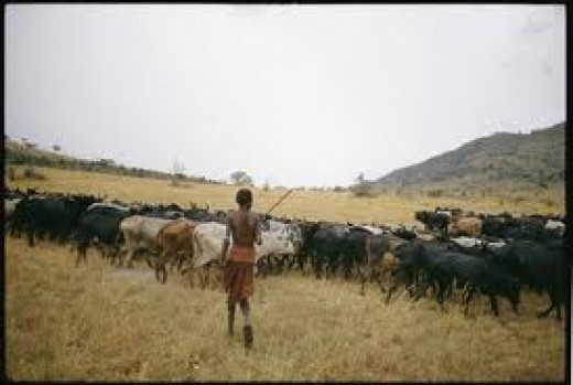 African Herd of Cattle