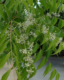 Important Uses Of Extract, Seed, And Other Components Of The Neem Tree