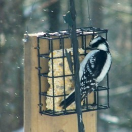 A Downy Woodpecker. We didn't know that this is a very rare sighted bird.
