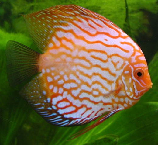 A red Discus Fish