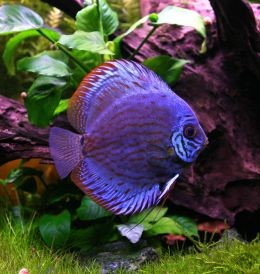 A purple Discus Fish