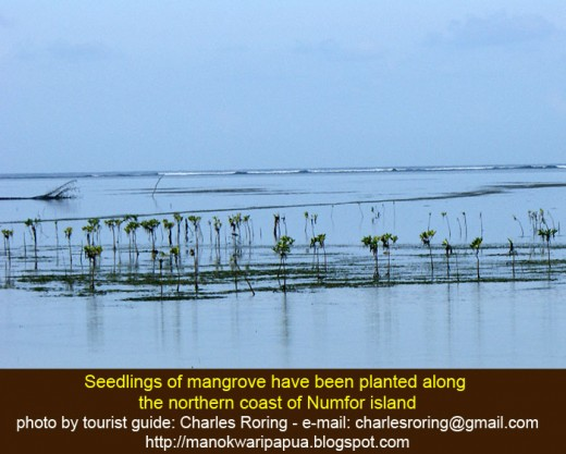 Mangrove seedling are now growing in the north coast of Numfor island.