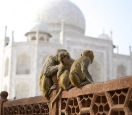 Spotted a cute baby monkey in front of Taj Mahal looking at my camera.