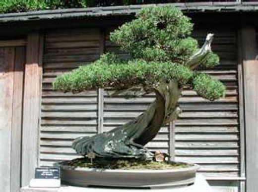 Bonsai Beauty !