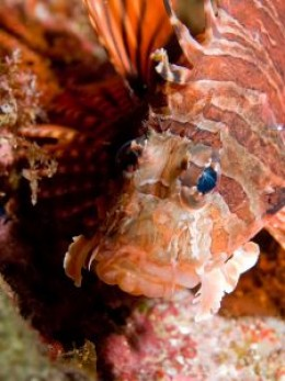Close-up of Fuzzy Dwarf Lionfish