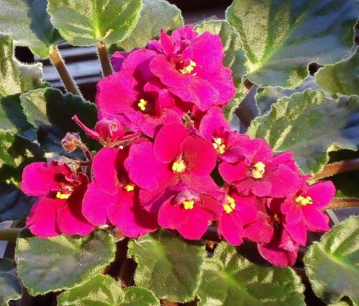 Deb's African Violets_2