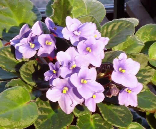 Deb's African Violets_4