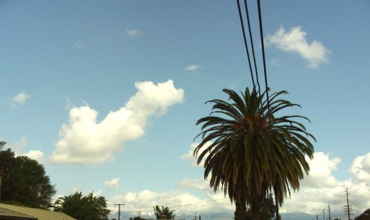 A magnificent palm tree next to a telephone pole.