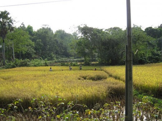 Mustard Fields in Tripura