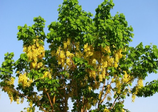 Golden Shower Tree Pic at Veer Jijamata Udyan in Mumbai. At the time of British rule in India, this udyan was called as Victoria Gardens Mumbai.