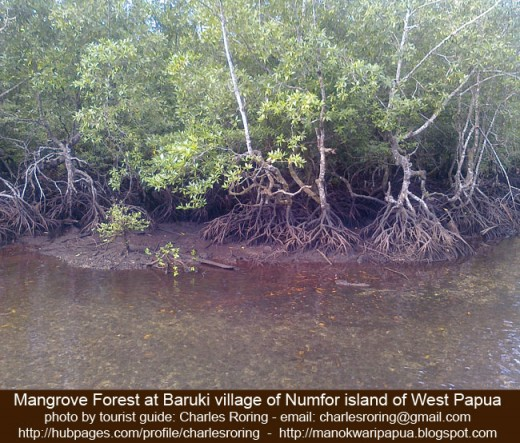 mangrove forest in the swampy area of Baruki village in Numfor island