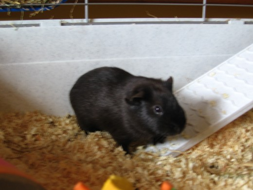 Snickers in the cage when we first brought him home - he is a lot bigger now.