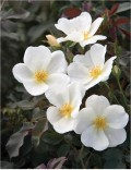 How to Grow the White Out Rose