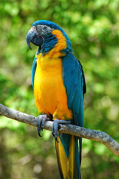 Blue-throated Macaw (Ara glaucogularis)
