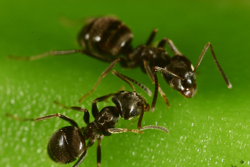 Australian sugar ants. Not the kind of ants I'm fighting. I just thought it was a pretty picture!
