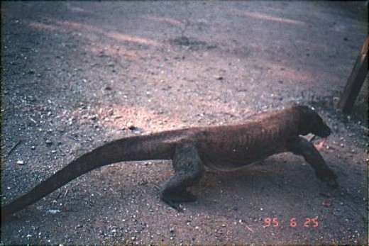 Not so friendly local : Komodo dragon