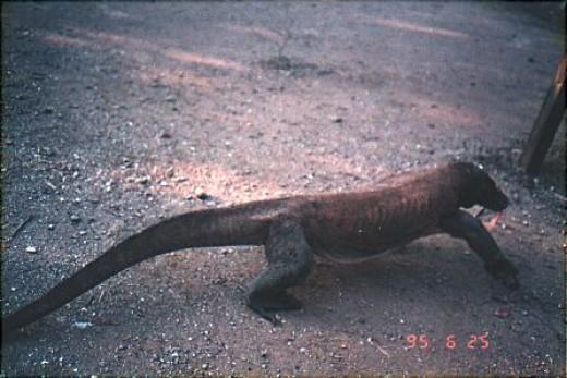 Not so friendly local : Komodo dragon