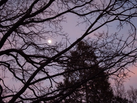 The moon looks extraordinary as seen through the branches of the trees high up in the San Bernardino Mountains.