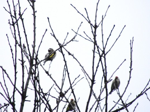 Goldfinches form small flocks called charms during the winter. And small  groups are regularly seen in garden trees.