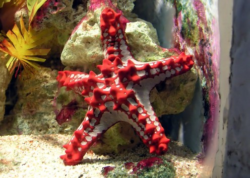 Red Nobbed Starfish.  I think this is such an interesting creature.