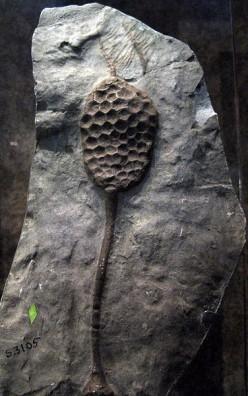 Paracrinoid Fossil.