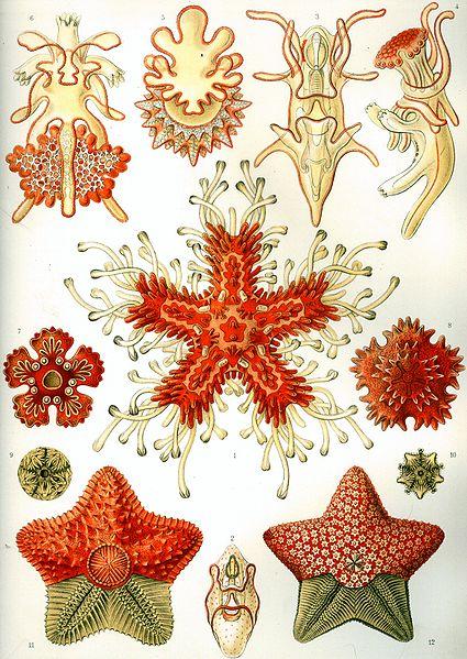 Common Sea Stars