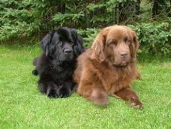 Newfoundlands are the best dogs in the world