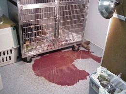 Parvo Puppies on Parvo Virus In Dogs