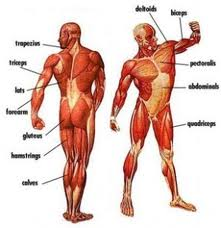 Major muscle groups for men
