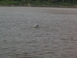 River Dolphin, Bolivia. All rights reserved.