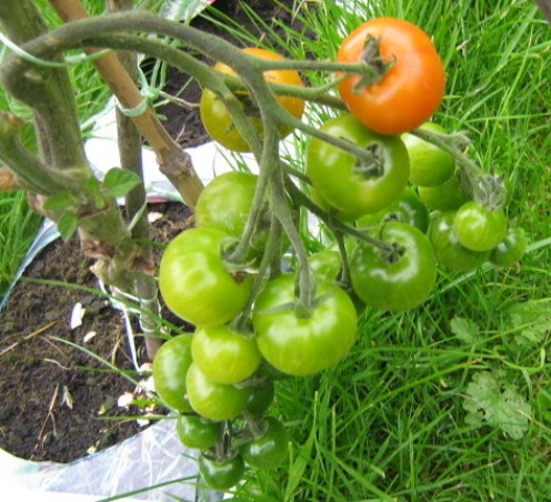 How To Grow Tomatoes From Seed Vegetable Garden Tips
