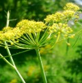 Fennel - a common medicinal and culinary herb found in the Canary Islands