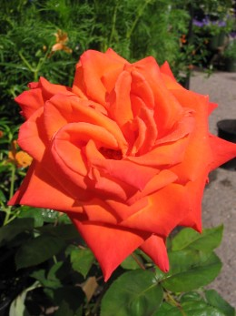 "Hybrid rose ""Wildfire"""