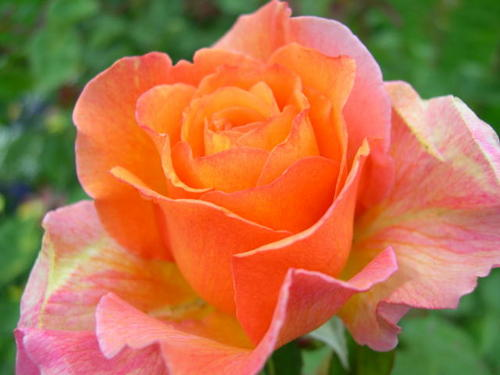 "Hybrid tea rose ""Peace"""