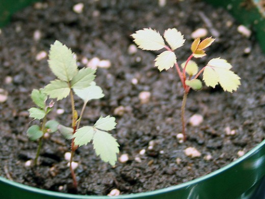 rose seedlings