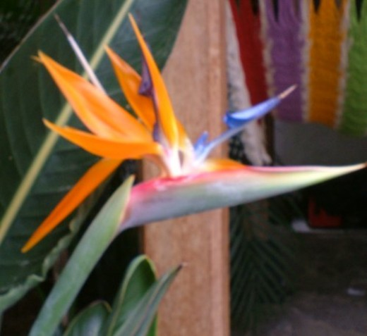 Bird of Paradise flower. Photo by Steve Andrews