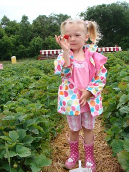 Picking strawberries.  Our fresh fruit of the early summer season.
