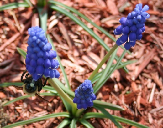 Spring bloomers such as grape hyacinth (muscari) are super easy to grow.