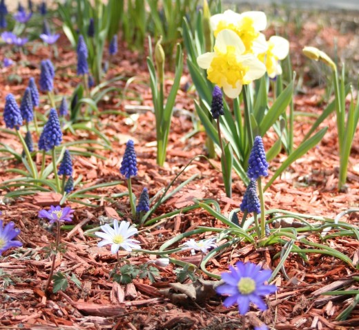 Anemone and narcissus are among the easiest spring flowers to grow--and most pests leave them alone.