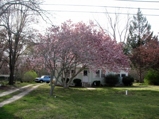 A magnolia sings a beautiful song in blossoms at an Oak Hall residence.