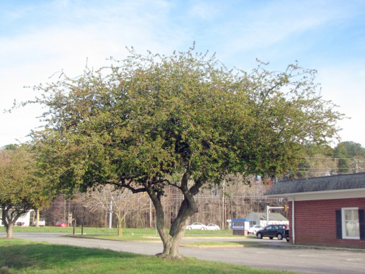 This tree, on the edge of the Arcadia High School property, already has leaves and looks as though it is about to flower.