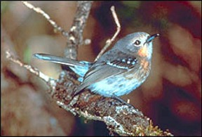Elepaio - bird in danger of going extinct in Hawaii